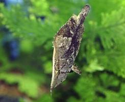 Рыба-лист
