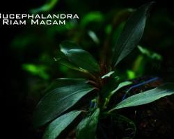 Буцефаландра Риам Макан
