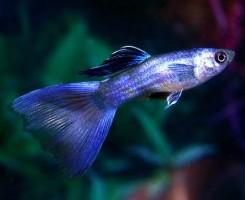 Синие Гуппи
