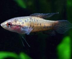 Райская рыбка Крестсера