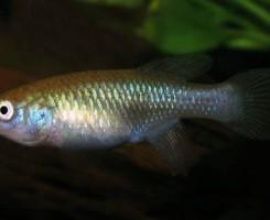 Нотобранхиус угандский