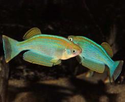 Ламприхтис танганьикский