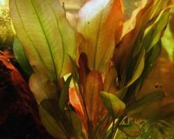Эхинодорус «Звезда джунглей»