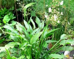 Эхинодорус метельчатый