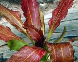 Эхинодорус «Красное пламя»