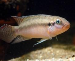 Конгохромис Сабины