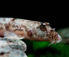 Рыбка Гонгота