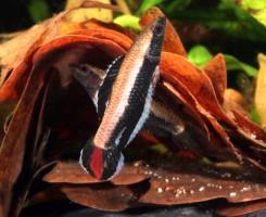 Паросфроменус украшенный
