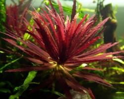 Лимнофила красная