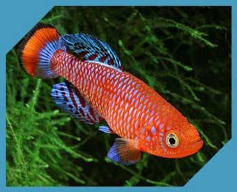 Рыбки Килли