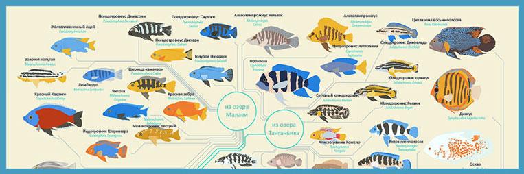 Инфографика «Группы тропических аквариумных рыбок»