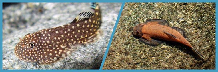 Кто такие Гастромизоны и чем они отличаются от других рыб
