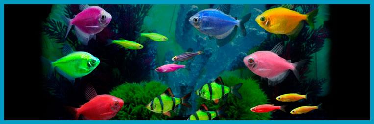 Светящиеся (флуоресцентные) аквариумные рыбки — немного истории
