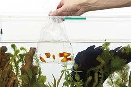 Перевозка и запуск рыб в аквариум