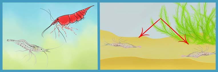 Чем болеют аквариумные креветки и как их лечить